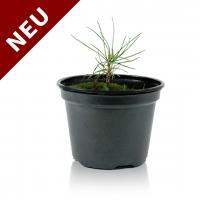 Sibirische Zedern-Setzlinge (Pinus Sibirica)